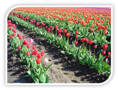 Dutch Tulips And Wooden Shoes And Windmills Make Lynden Washington A Unique And Interesting Place To Visit