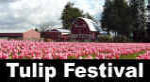 Western Washington State Travel - Skagit Valley Tulip Festival Photos & Information