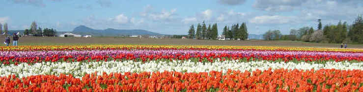 Amazing Carpet Of Color - Skaget County Tulip Festival