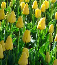 Yellow Tulips - Skaget County Tulip Festival