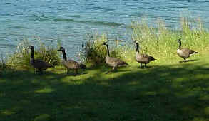 Canadian Geese - Sudden Valley WA