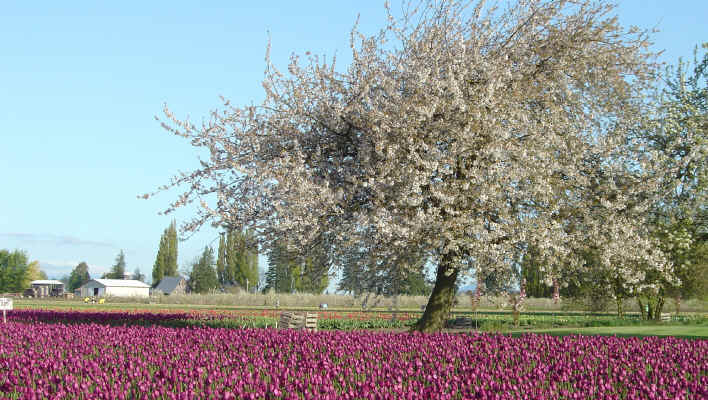 Tulips and trees in full bloom at the Skagit Valley Tulip Festival