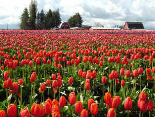 Tulip Fields Of Red - Skaget County Tulip Festival